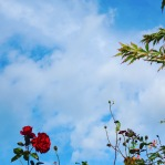rose, sky and foliage
